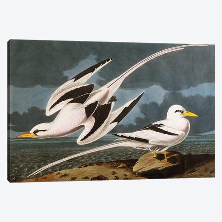Tropic Bird  plate CCLXII from 'The Birds of America'  Canvas Print #BMN10780} by John James Audubon Canvas Wall Art