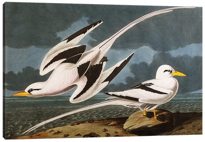 Tropic Bird  plate CCLXII from 'The Birds of America'  Canvas Art Print