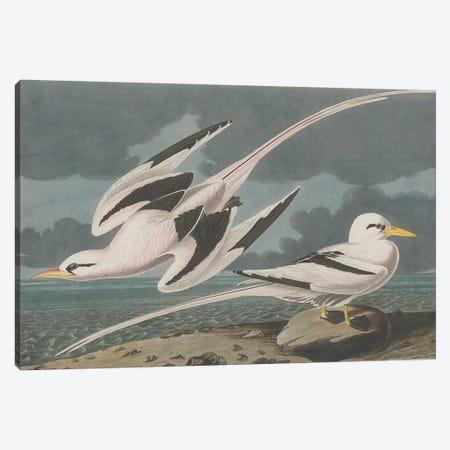 Tropic Bird, 1835  Canvas Print #BMN10781} by John James Audubon Canvas Art