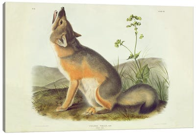 Vulpes Velox , plate 52 from 'Quadrupeds of North America', engraved by John T. Bowen , 1844  Canvas Art Print