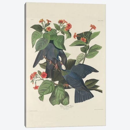 White-crowned Pigeon, 1833  Canvas Print #BMN10783} by John James Audubon Canvas Wall Art
