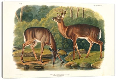 Cervus Virginianus , plate 136 from 'Quadrupeds of North America', engraved by John T. Bowen , 1848  Canvas Art Print
