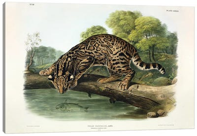 Felis Pardalis , plate 86 from 'Quadrupeds of North America', engraved by John T. Bowen , 1846  Canvas Art Print