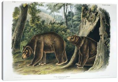 Ursus americanus, American black bear or Cinnamon Bear, plate 127, 1848  Canvas Art Print