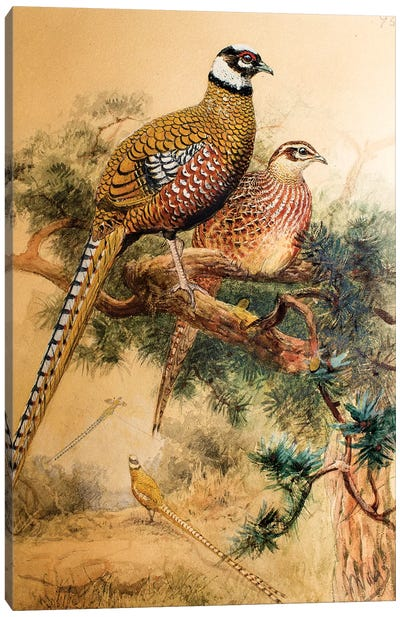 Bar-tailed Pheasant , 1852-54  Canvas Art Print