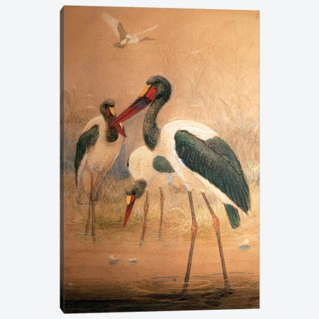 Saddle-billed Stork , 1856-67  Canvas Print #BMN10884} by Joseph Wolf Canvas Artwork