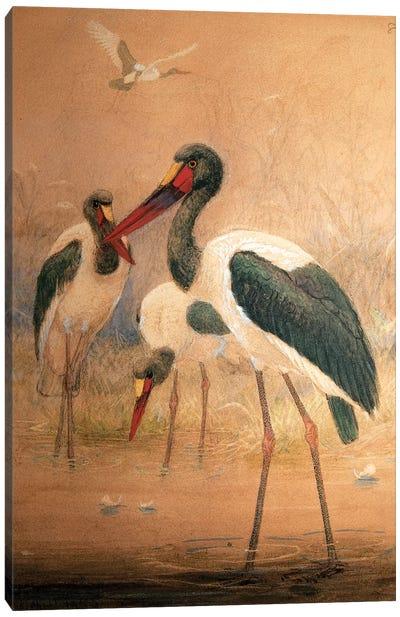 Saddle-billed Stork , 1856-67  Canvas Art Print