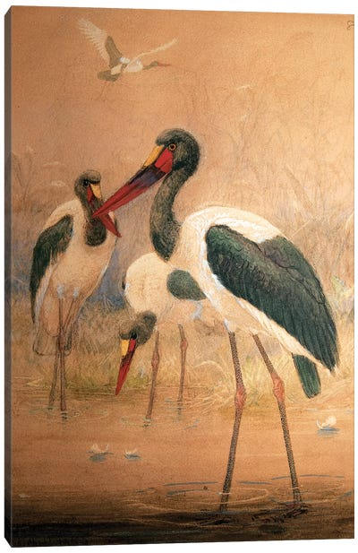 Saddle-billed Stork , 1856-67  Canvas Art Print