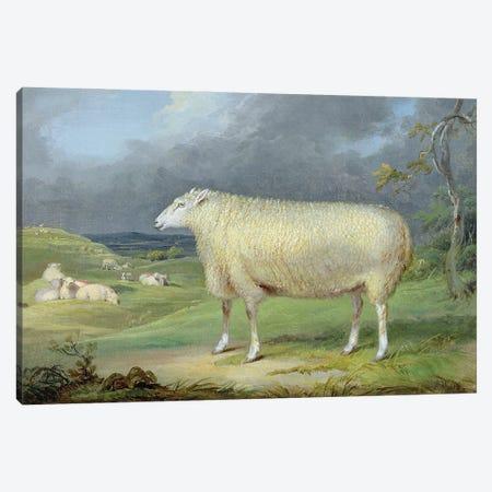 A Border Leicester Ewe Canvas Print #BMN11093} by James Ward Art Print