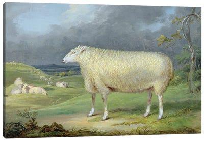 A Border Leicester Ewe Canvas Art Print