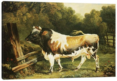 A Bull Of The Alderney Breed Canvas Art Print