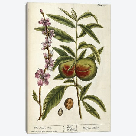The Peach Tree - Perfica Malus (Plate 101 From A Curious Herbal), 1739 Canvas Print #BMN11248} by Elizabeth Blackwell Canvas Artwork