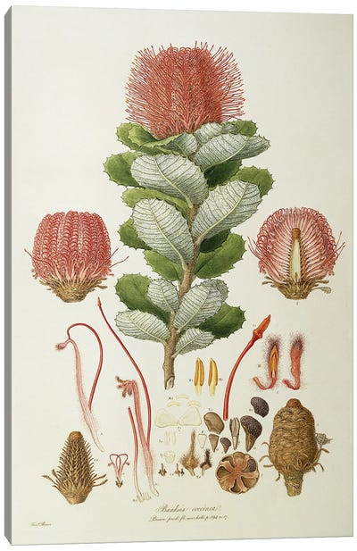 Banksia Coccinea, Illustrationes Florae Novaie Hollandiae, 1813 Canvas Art Print