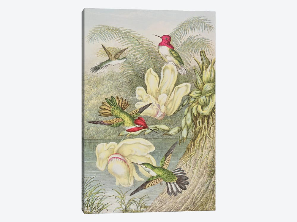 Humming birds among tropical flowers  by English School 1-piece Canvas Print