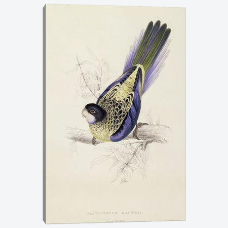 Platycercus Brownii, or Brown's Parakeet  Canvas Print #BMN1778} by Edward Lear Canvas Art