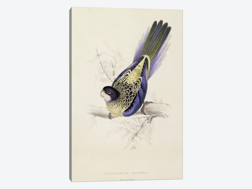 Platycercus Brownii, or Brown's Parakeet  by Edward Lear 1-piece Canvas Art Print