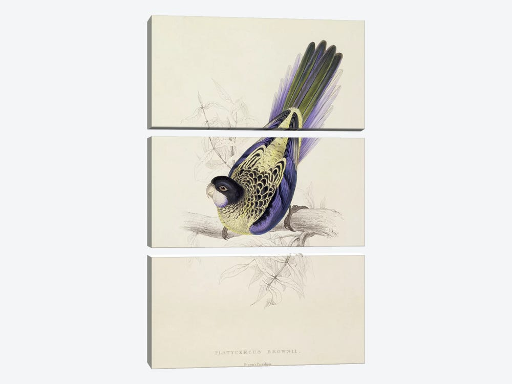 Platycercus Brownii, or Brown's Parakeet  by Edward Lear 3-piece Art Print