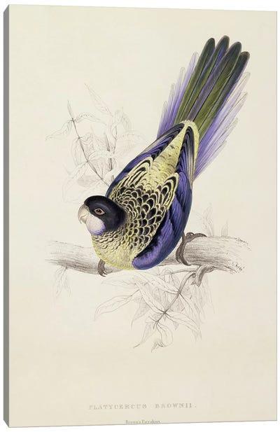 Platycercus Brownii, or Brown's Parakeet  Canvas Art Print
