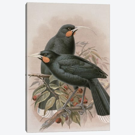 Huia, illustration from 'A History of the Birds of New Zealand' by W.L. Buller, 1887-88  Canvas Print #BMN1943} by Johan Gerard Keulemans Art Print