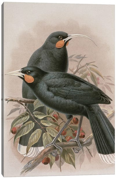 Huia, illustration from 'A History of the Birds of New Zealand' by W.L. Buller, 1887-88  Canvas Art Print
