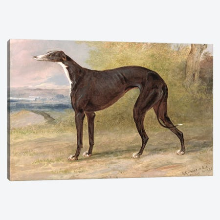 One of George Lane Fox's Winning Greyhounds: the Black and White Greyhound Bitch, Juno, also known as Elizabeth, 1822  Canvas Print #BMN2112} by George Garrard Canvas Wall Art