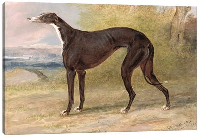 One of George Lane Fox's Winning Greyhounds: the Black and White Greyhound Bitch, Juno, also known as Elizabeth, 1822  Canvas Art Print