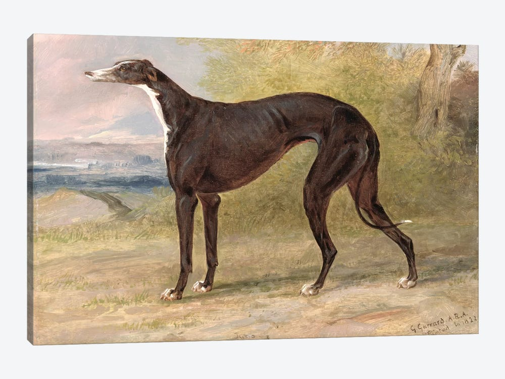 One of George Lane Fox's Winning Greyhounds: the Black and White Greyhound Bitch, Juno, also known as Elizabeth, 1822  by George Garrard 1-piece Art Print