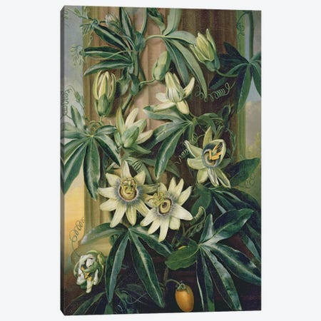 Blue Passion Flower for the 'Temple of Flora' by Robert Thornton, 1800  Canvas Print #BMN2305} by Philip Reinagle Canvas Art