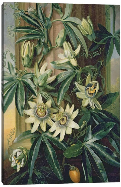 Blue Passion Flower for the 'Temple of Flora' by Robert Thornton, 1800  Canvas Art Print