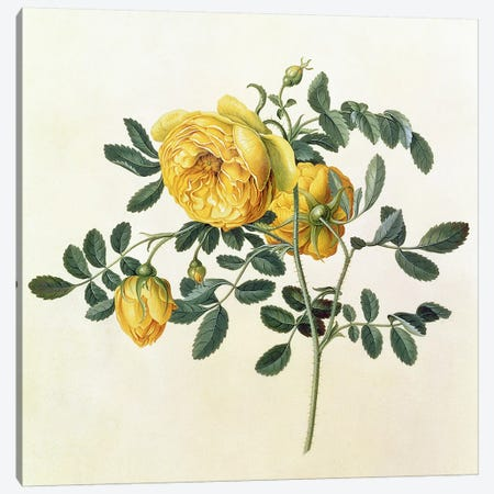 Rosa hemispherica, 18th century Canvas Print #BMN236} by Georg Dionysius Ehret Canvas Artwork