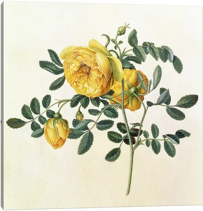 Rosa hemispherica, 18th century Canvas Art Print
