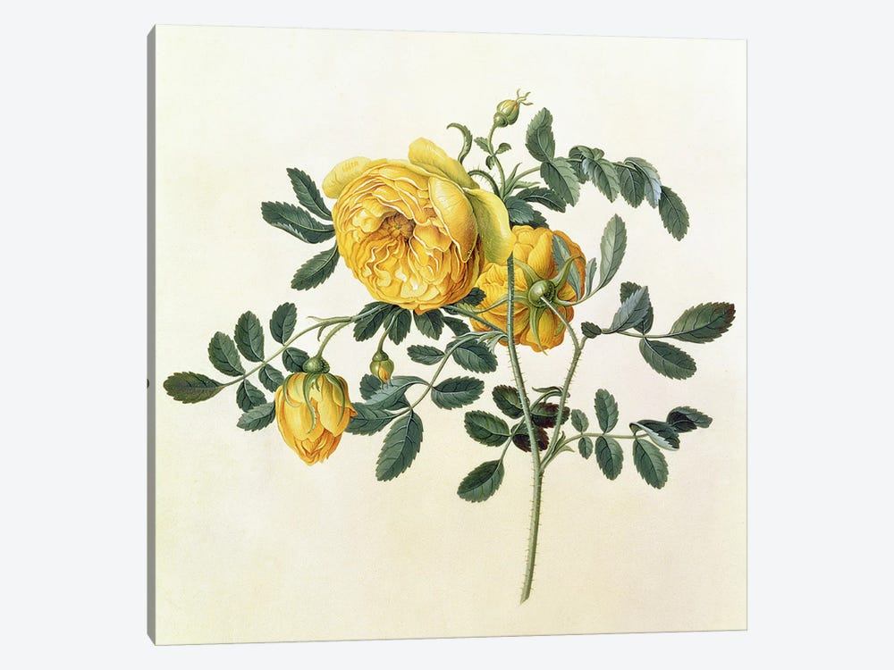 Rosa hemispherica, 18th century by Georg Dionysius Ehret 1-piece Canvas Art Print