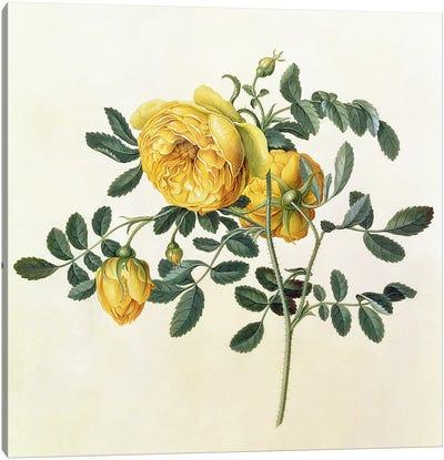 Rosa hemispherica, 18th century Canvas Art Print
