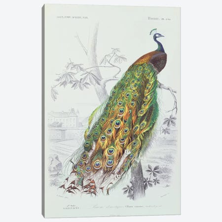 The Peacock (Illustration From Dictionnaire Universel d'Histoire Naturelle) Canvas Print #BMN2396} by Edouard Travies Canvas Art Print
