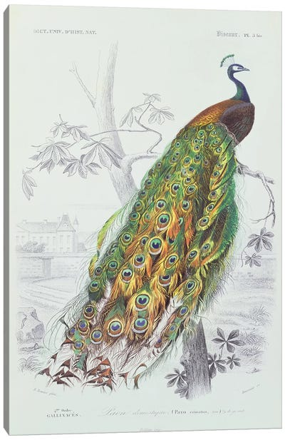 The Peacock (Illustration From Dictionnaire Universel d'Histoire Naturelle) Canvas Art Print