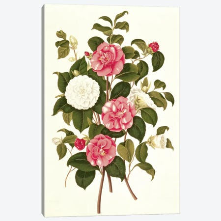 Camellia  Canvas Print #BMN239} by English School Canvas Art Print