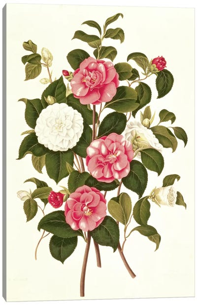 Camellia  Canvas Art Print