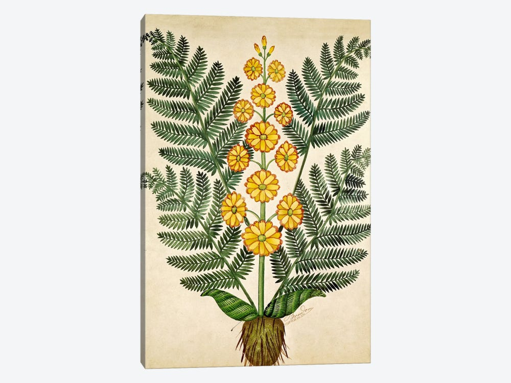 Fern with yellow flowers, plate from a seed merchants in Oisans  by French School 1-piece Canvas Artwork