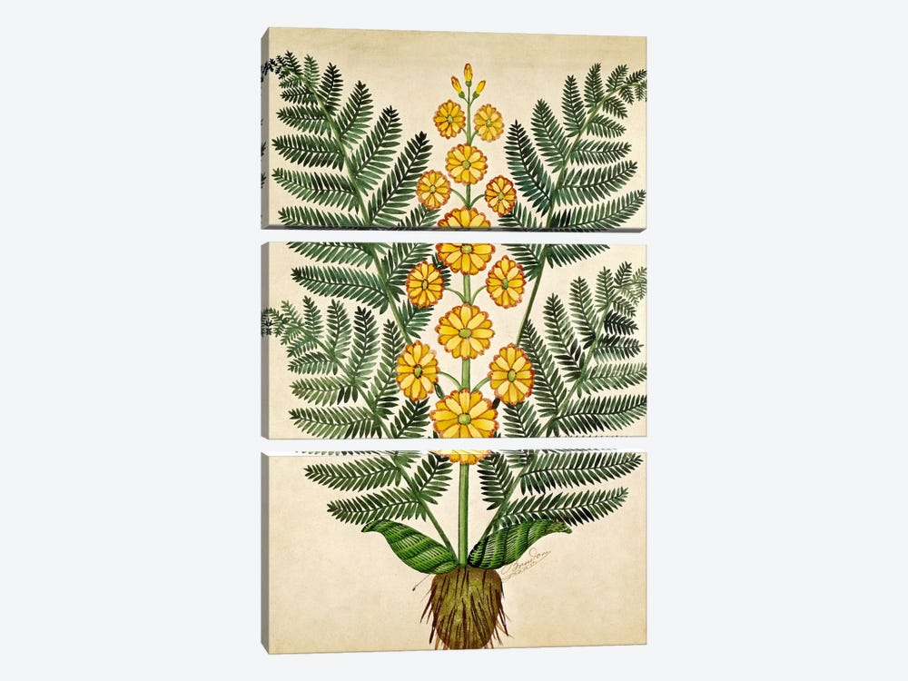 Fern with yellow flowers, plate from a seed merchants in Oisans  by French School 3-piece Canvas Wall Art