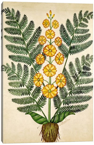 Fern with yellow flowers, plate from a seed merchants in Oisans  Canvas Art Print