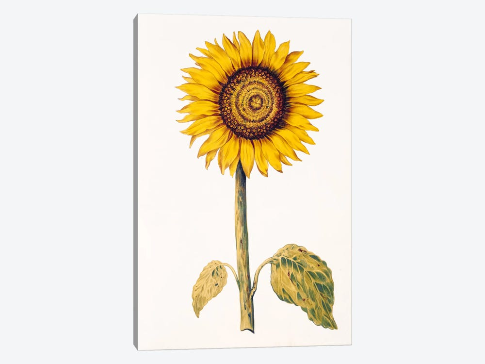 Sunflower or Helianthus, from 'La Guirlande de Julie', c.1642 by Nicolas Robert 1-piece Canvas Print