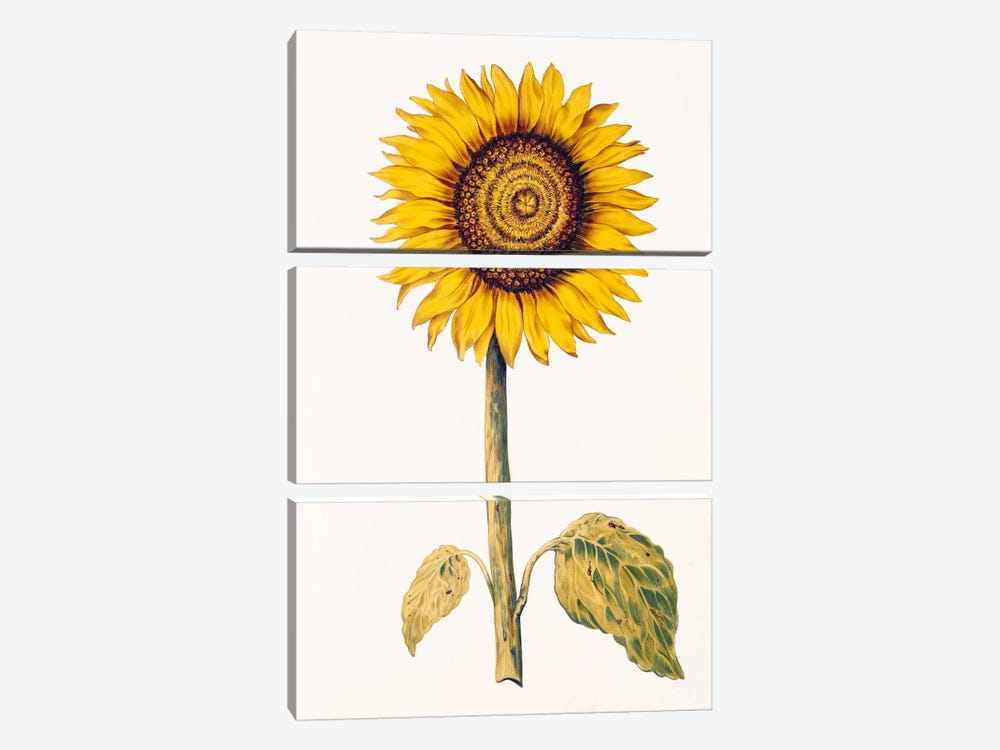Sunflower or Helianthus, from 'La Guirlande de Julie', c.1642 by Nicolas Robert 3-piece Art Print