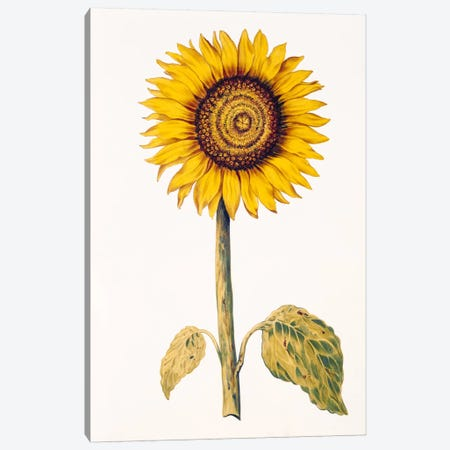 Sunflower or Helianthus, from 'La Guirlande de Julie', c.1642  Canvas Print #BMN2403} by Nicolas Robert Canvas Artwork