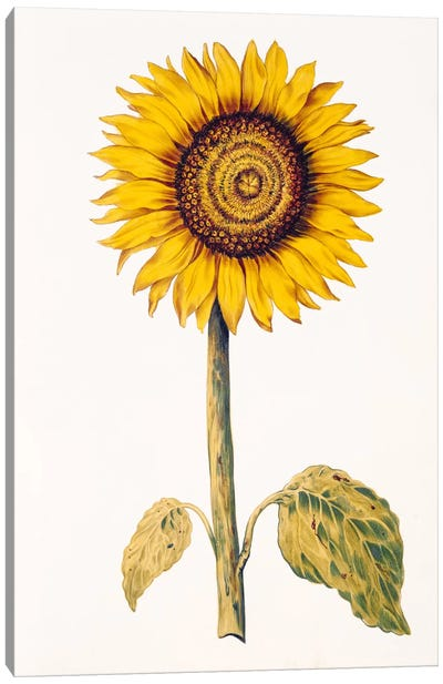 Sunflower or Helianthus, from 'La Guirlande de Julie', c.1642  Canvas Art Print
