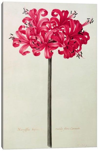 Amaryllis Sarniensis, or Narcissus  Canvas Art Print