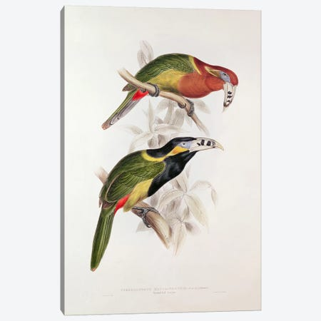 Spotted Bill Aracari, 19th century  Canvas Print #BMN249} by Edward Lear Canvas Art