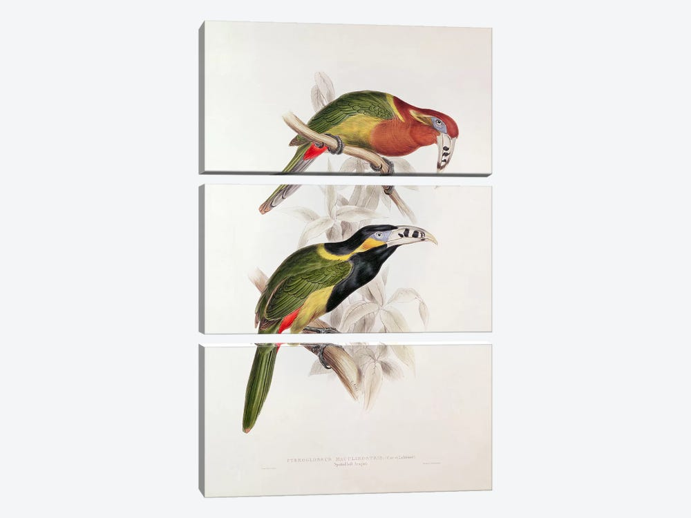 Spotted Bill Aracari, 19th century by Edward Lear 3-piece Canvas Art Print