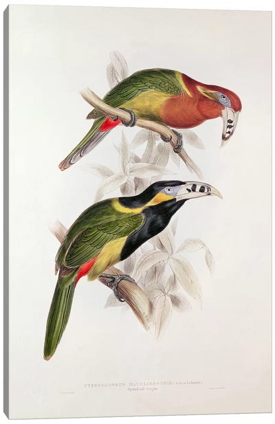 Spotted Bill Aracari, 19th century  Canvas Art Print