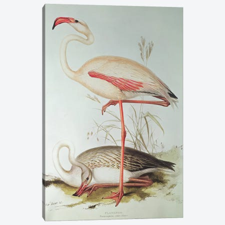 Flamingo Canvas Print #BMN250} by Edward Lear Canvas Art Print