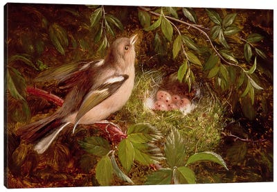 A Chaffinch at its Nest, 1877 Canvas Art Print